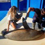 veterinaria ecografiando un león marino