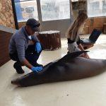 Ecografia a una leona marina de california