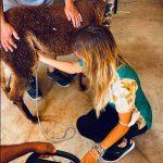 ecografia a una alpaca