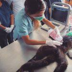 ecografia a un mono araña