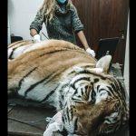 ecografia a un tigre