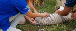 ecografia a tigre blanco